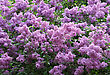 Branches Of Beautiful Blossoming Lilac stock image
