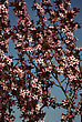 Branches With Pink Blossoms Against Clear Blue Sky, Blured Background stock photo