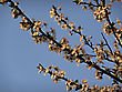 Branches Of White Blooming Tree Lit By Sunset Light Against Blured Clear Blue Sky. stock image