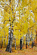 Bright Autumn Foliage Of The Birches, Soft Fuzzy Brush Strokes Surrounding The Black And White Trunks stock image