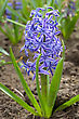 Bright Blue Flowers Of Hyacinth In The Spring stock image