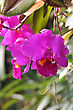 Tropical Bright Cattleya Orchid Flowers stock photo