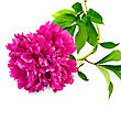 Bright Pink Peony With Green Leaves stock photography
