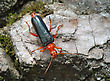 Bug Bright Red Longicorn Beetle On The Bark Of A Tree stock photography