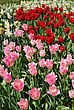 Bright Red And Pink Flowers Of Tulips stock photo
