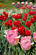 Bright Red And Pink Flowers Of Tulips stock photography