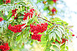 Bright Rowan Berries With Leafs On A Tree stock image