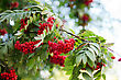 Bright Rowan Berries With Leafs On A Tree stock photography