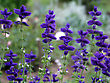Bright Salvia Plant In The Garden stock image