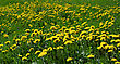 Bright Yellow Flowers Of Dandelions On A Spring Meadow stock photo