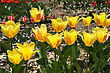 Bright Yellow Flowers Of Tulips In The Spring stock photography