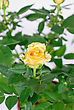 Bright Yellow Roses stock photography
