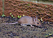 BRITISH WOOD MOUSE EATING SEEDS stock image