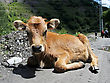 Brown Calf Lying On A Road. Close Up stock photo