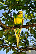 Budgie In A Tree stock photography
