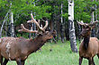 bull elk warning a younger male off stock photo