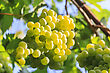Bunch Of Grapes On A Background Of The Sunny Sky stock image