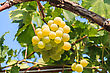 Bunch Of Grapes On A Background Of The Sunny Sky. Close Up stock image