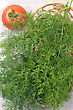 Mortar Bunch Of Dill And A Tomato stock photography