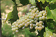 Bunches Of Grapes On Vines In A Vineyard Before Harvest stock photography