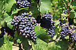 Bunches Of Grapes On Vines In A Vineyard Before Harvest stock photo