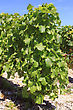 Viticulture Bunches Of Grapes On Vines In A Vineyard Before Harvest stock photo
