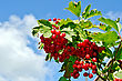 Bunches Of Ripe Red Berries Of Viburnum On A Branch With Green Leaves On A Background Of Blue Sky stock photo