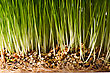 Bush Of Green Grass With Ground And Roots stock image