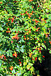 Bush Of Dog Rose In Crimea stock image