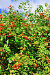 Bush Of Dog Rose In Crimea stock photo