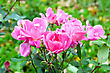Bush With Pink Roses On A Background Of Green Leaves And Grass stock photo