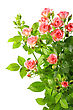 Bush With Pink Roses And Green Leafes Close-up Studio Photography