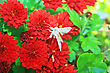 Butterfly On Red Daisies In Garden. stock image