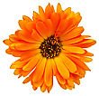 Calendula Orange Terry With Dark Heart Isolated On White Background stock photo