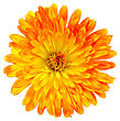 Calendula Orange-yellow Terry Isolated On White Background stock photo