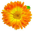 Calendula Yellow And Orange Terry With Green Leaf Isolated On White Background stock image