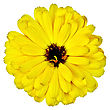 Calendula Yellow Terry With Dark Heart Isolated On White Background stock photo