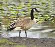 Canada Goose By The Lake stock photography