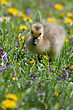 Canadian Goose Gosling Resting In The Grass And Eating