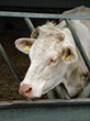 Cattle Livestock stock image
