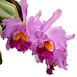 Cattleya Flowers Isolated On White stock photo
