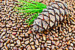 Cedar Cone, Twig With Green Needles On The Texture Of Cedar Nuts stock image