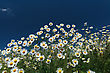 Chamomile On A Bright Sunny Afternoon, On A Background Of The Cloudy Sky stock photo