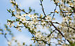 Cherry tree with flower stock image