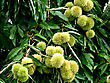 Chestnut Tree With Immature Young Chestnut Fruit At Sunny Summer Day