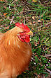 The chicken (Gallus gallus, sometimes G. gallus domesticus) is a domesticated fowl likely descended from the wild Indian and southeast Asian Red Junglefowl stock image