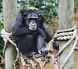 Chimpanzee Perching In The Zoo stock photography