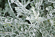 Cineraria Maritima (Cineraria Silverdust) Leaves stock photo