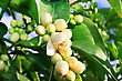 Citrus Flowers In The Tree stock photo