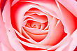 Close Up Background Of Beautiful Red Rose Petals stock image